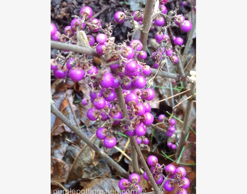 Beautyberry Berries