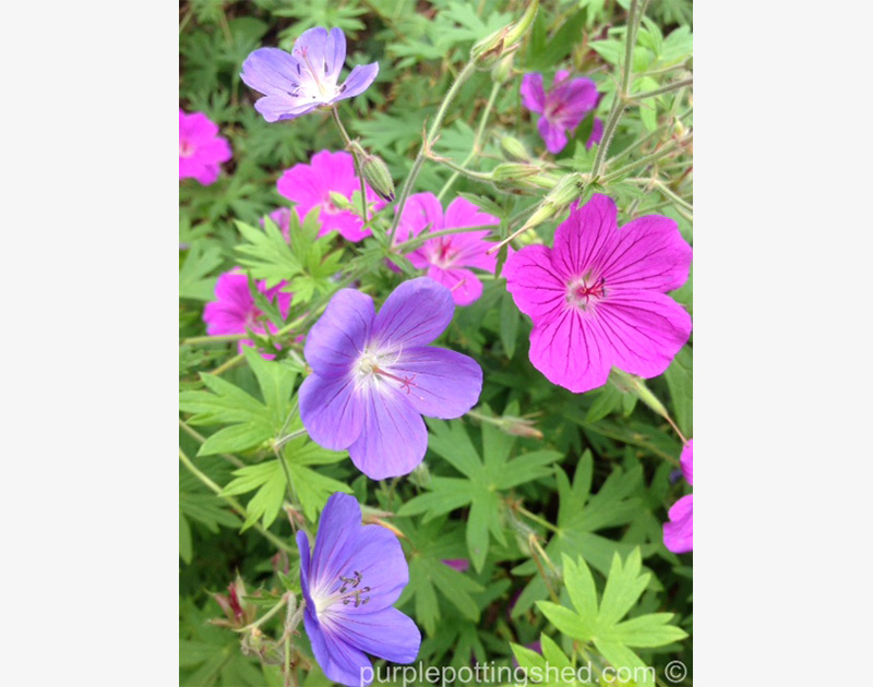 Hardy Geranium Intermingled