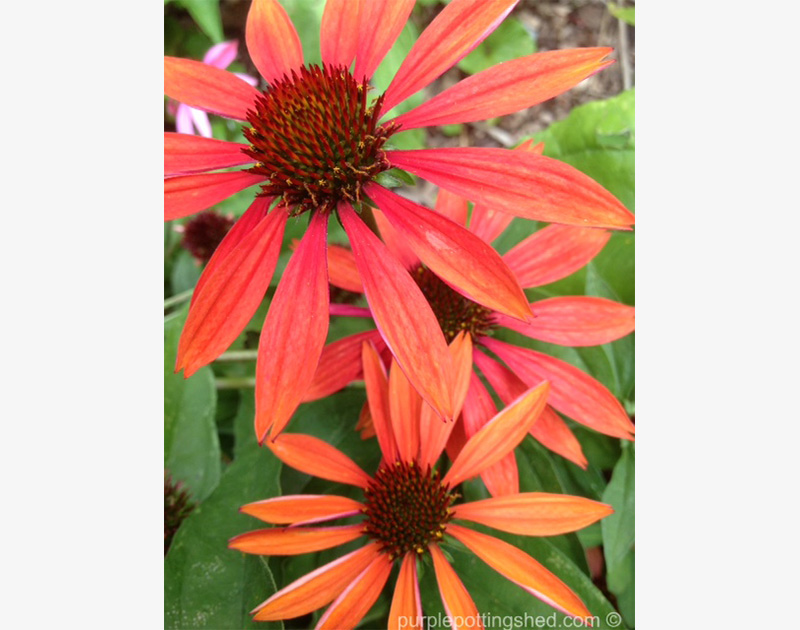 Cone Flower, 'Sundown'