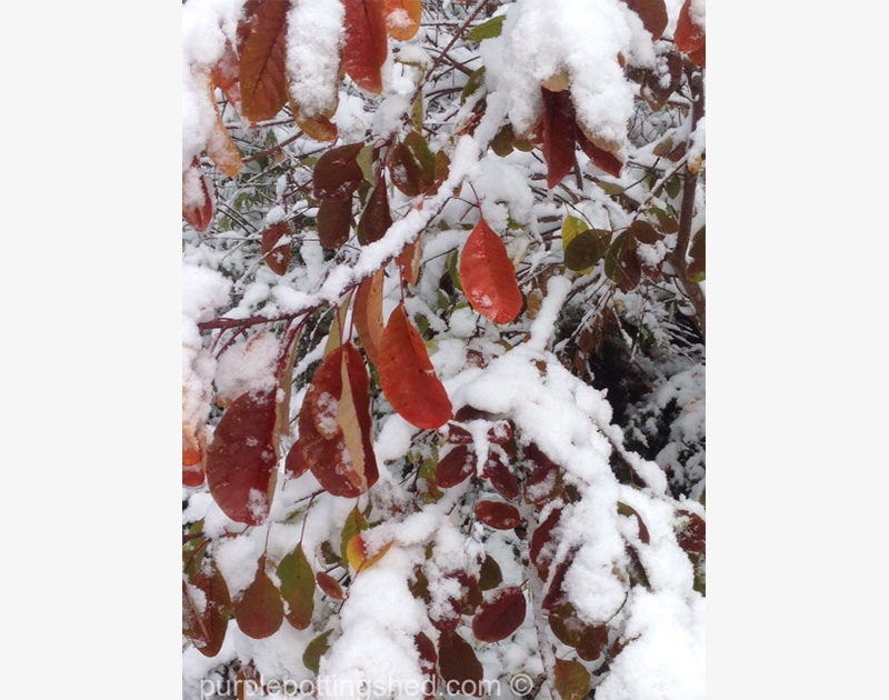 Smokebush, Snow
