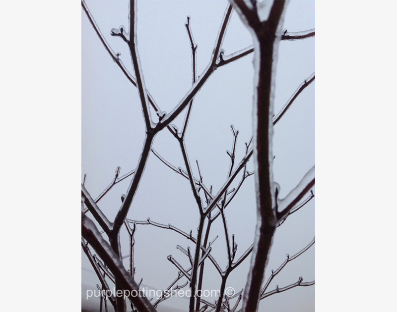 Iced Branches in Winter sky