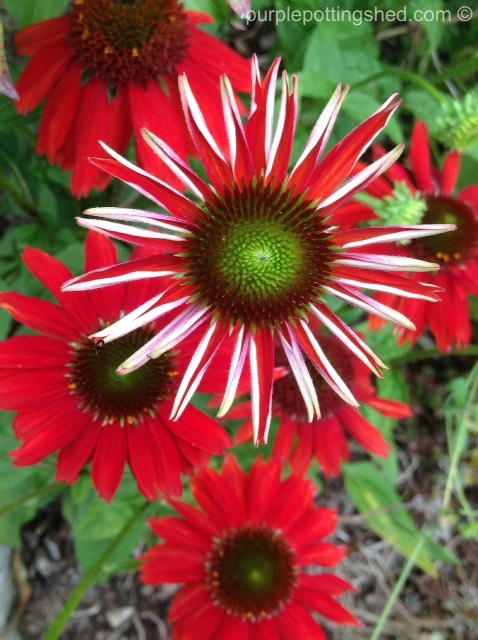 Cone flower, salsa red 4.jpg