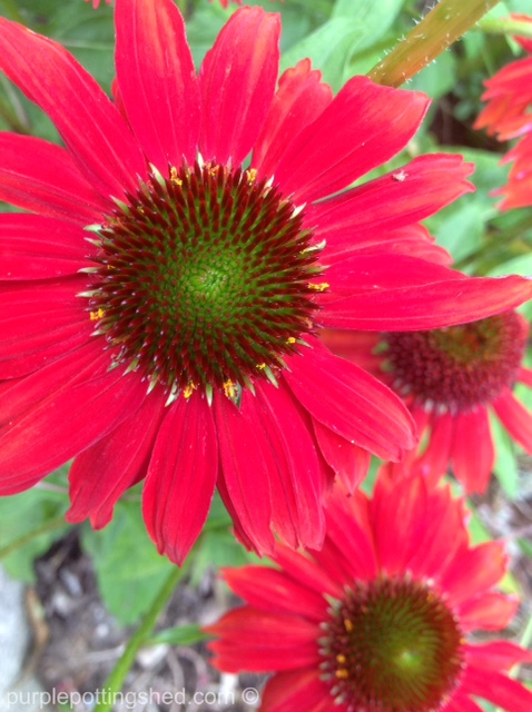 Cone flower, salsa red.jpg