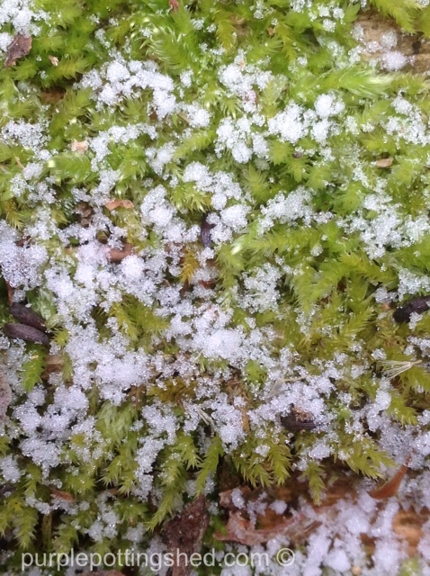 Snow on moss.jpg