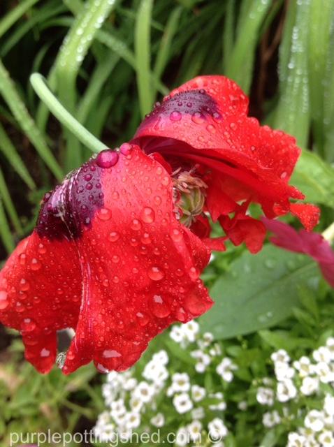 Peony poppy after rain.jpg