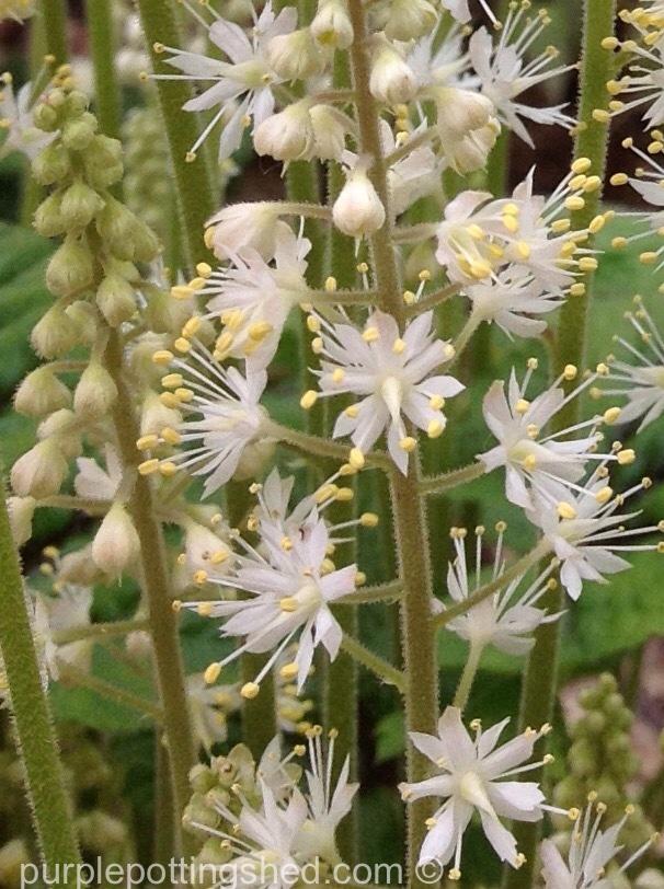 Foamflower, up close.jpg