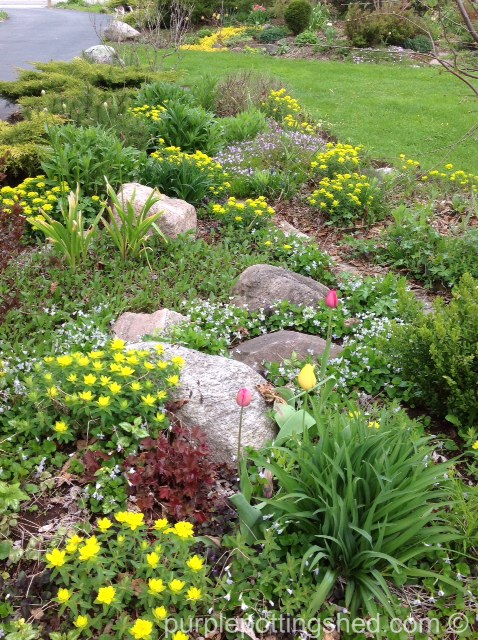 Cushion spurge in spring garden.jpg