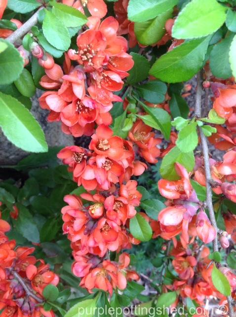 Flowering quince branch.jpg