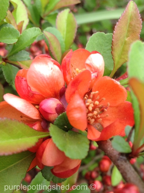 Flowering quince bloom.jpg