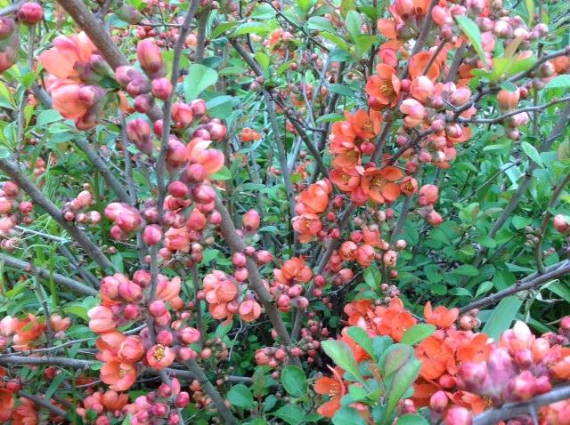 Flowering quince, buds.jpg