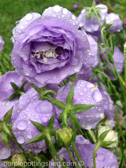 Campanula, double, raindrops.jpg