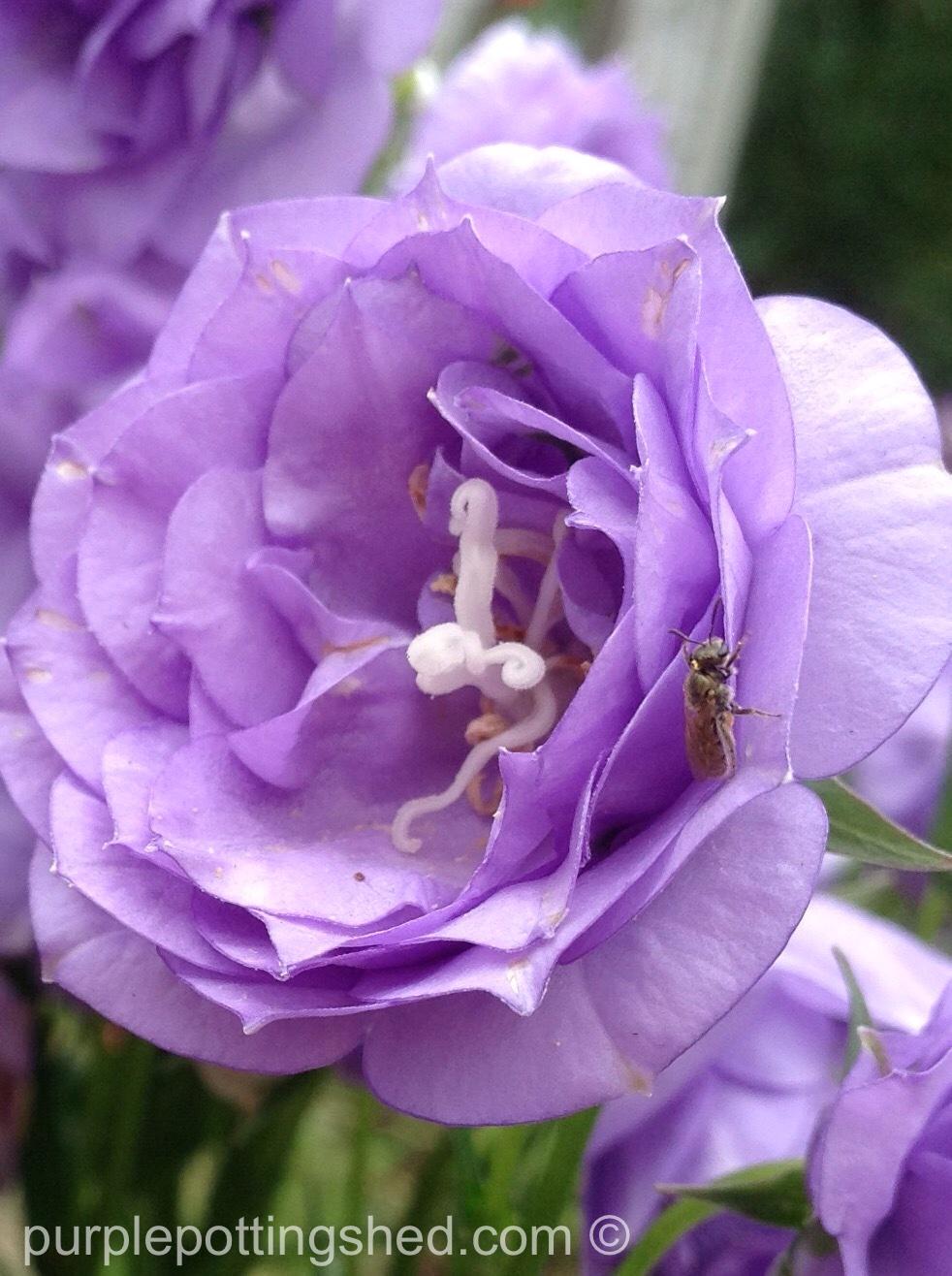 Campanula, double, single bloom.jpg