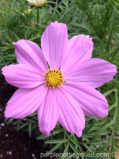 Cosmos, pink.jpg