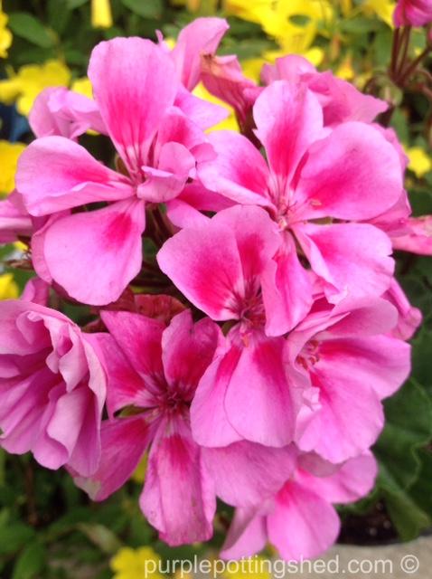 Geranium, annual, in pink.jpg