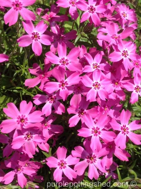 Ground phlox in pink.jpg