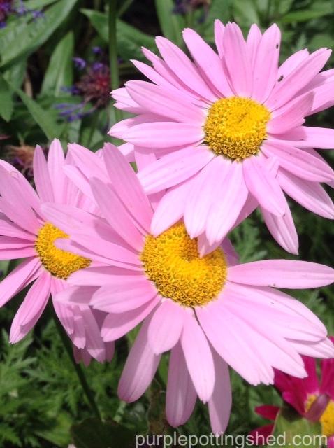 Painted daisies, pink.jpg