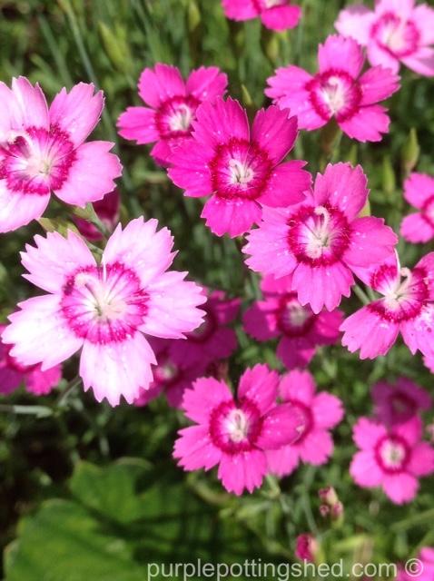 Pinks, dianthus, in pinks.jpg