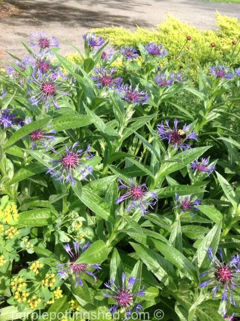 Centaurea montana 3.jpg