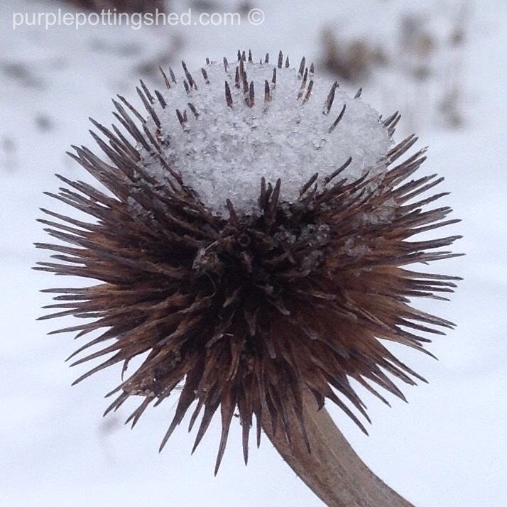 Coneflower seedhead with snow.jpg