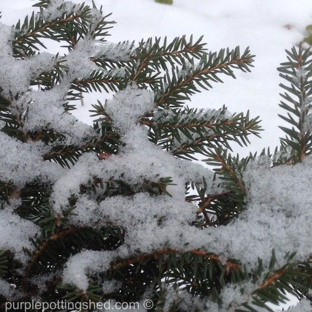 Nest spruce with snow.jpg