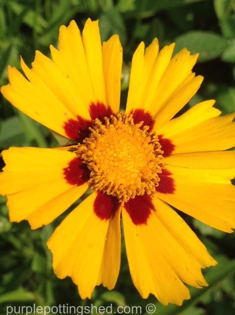 Coreopsis domino, single bloom.jpg