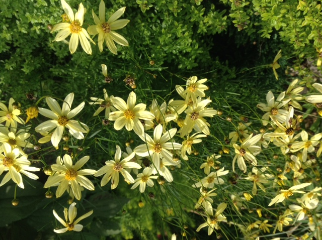 Coreopsis, classic threadleaf in yellow.jpg