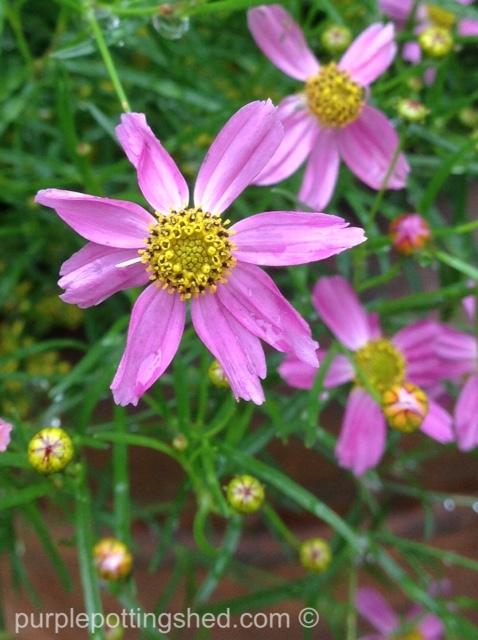Coreopsis, pink close.jpg