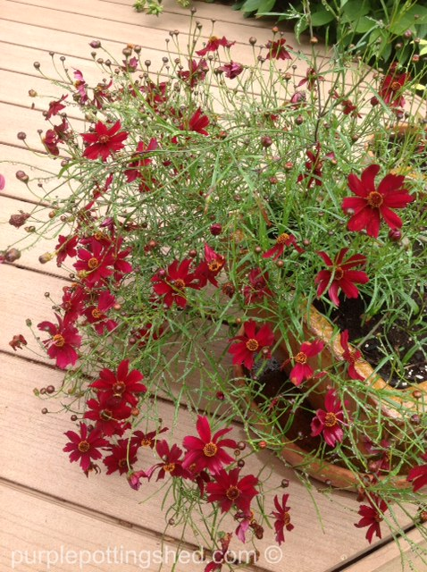 Coreopsis, annual in pot.jpg