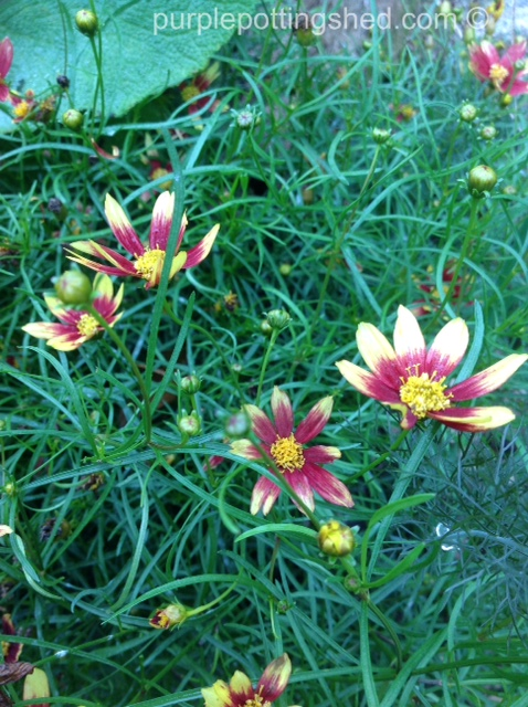 Coreopsis, Route 66.jpg