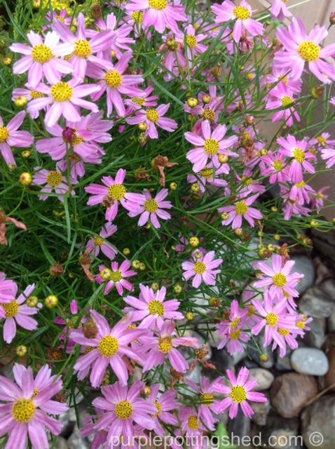 Coreopsis, threadleaf, pink.jpg