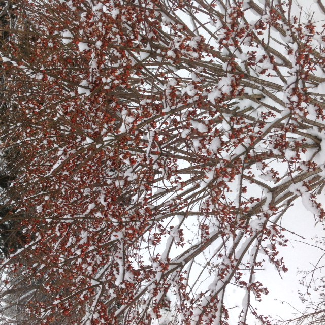 Snowy burning bush.jpg