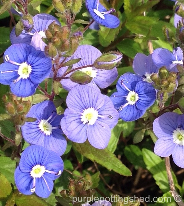 Veronica, ground cover, close.jpg