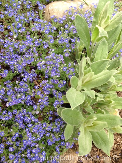 Veronica, ground cover, edging.jpg