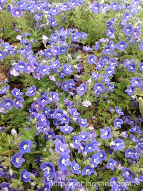 Veronica, ground cover.jpg