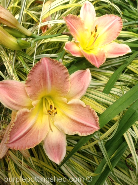 Japanese forest grass with daylily.jpg