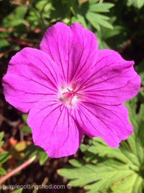 Hardy geranium.jpg