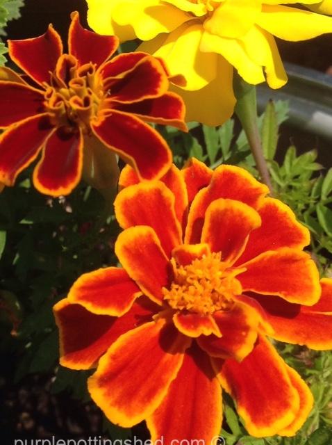 Marigold, copper.jpg