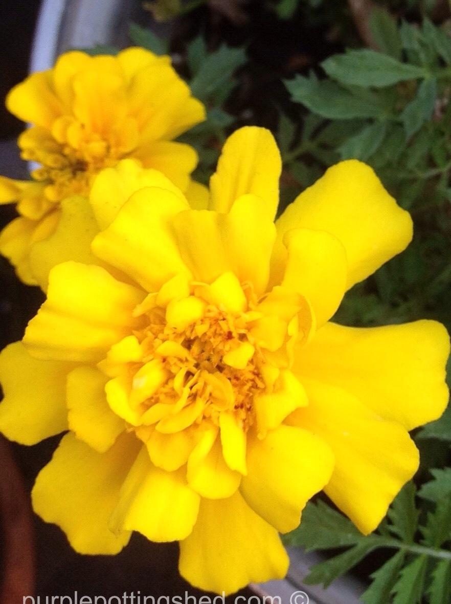 Marigold, yellow.jpg