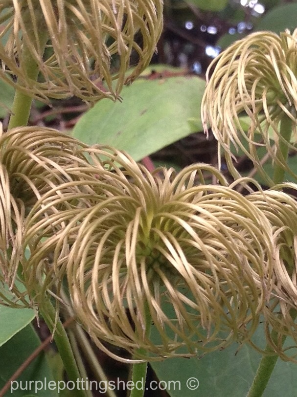 Clematis seed head, close.jpg