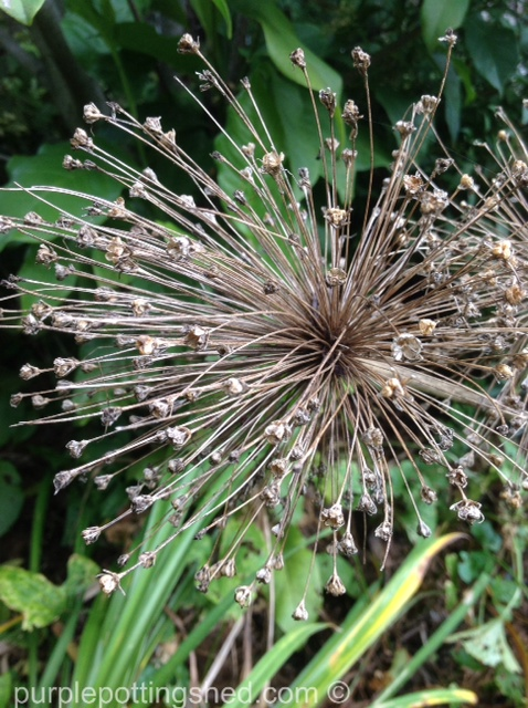 Allium seed head.jpg
