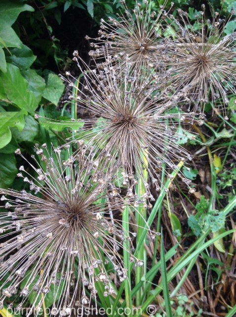 Allium seed heads.jpg
