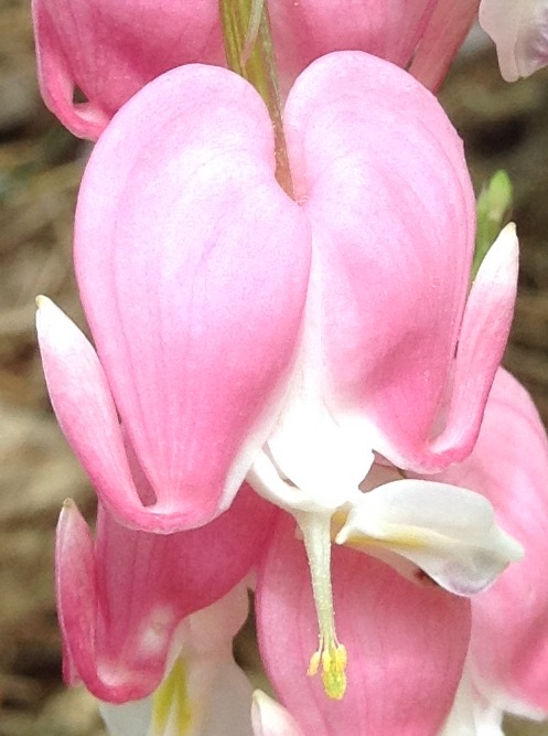 Bleeding heart, close.jpg