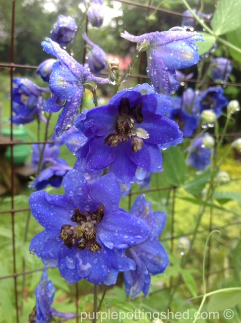 Delphinium with raindrops.jpg