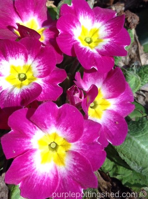 Primula in pink.jpg
