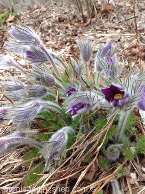 Pasque flower buds.jpg