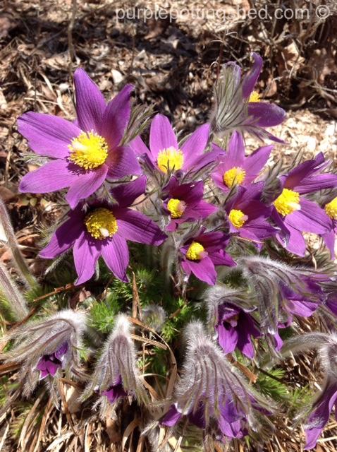 Pasque flower blooming.jpg