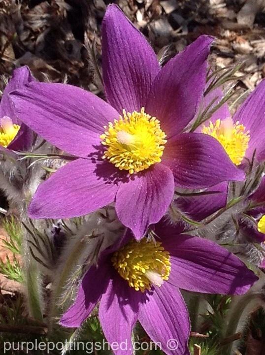 Pasque flower up close.jpg