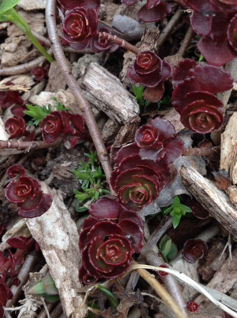 Sedum sprouts, 'Dragon's Blood'.jpg