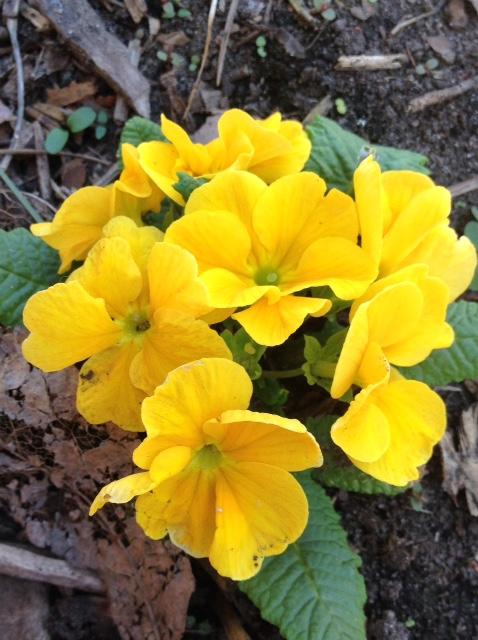 Primula in yellow.jpg