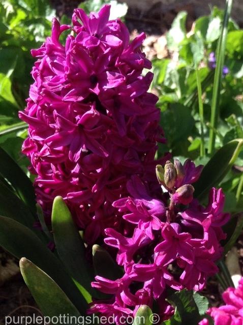 Hyacinth 8.jpg